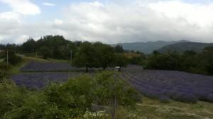 la sezione biodinamica ligure nasce con i migliori auspici tra i campi di lavanda in fiore e i due alberi di gelso