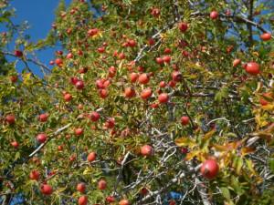 Rosa canina fructi